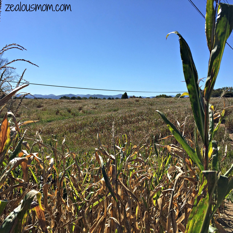 Wordless Wednesday: Corn Maze Fun
